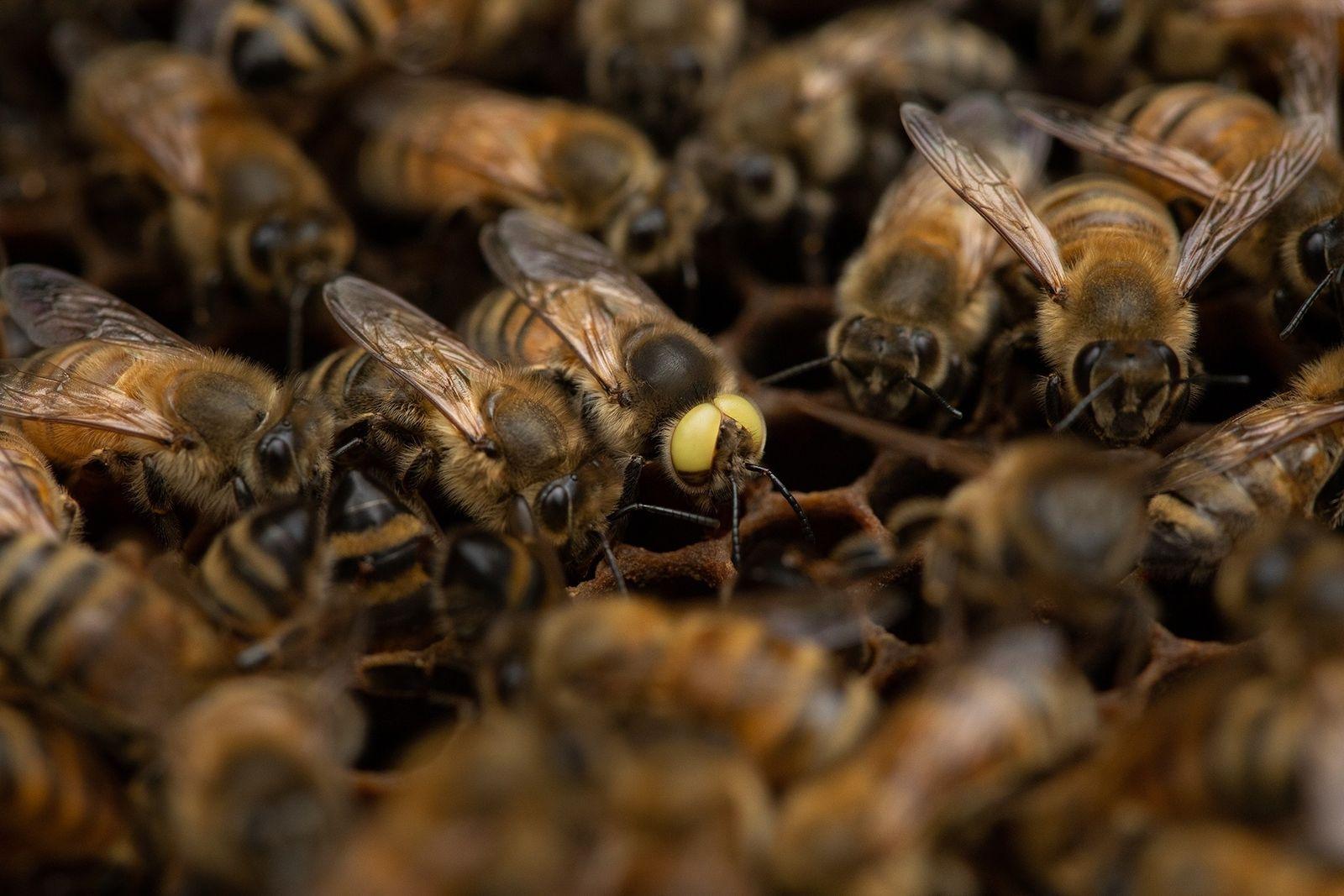 Esta extraña abeja mutante es macho y hembra