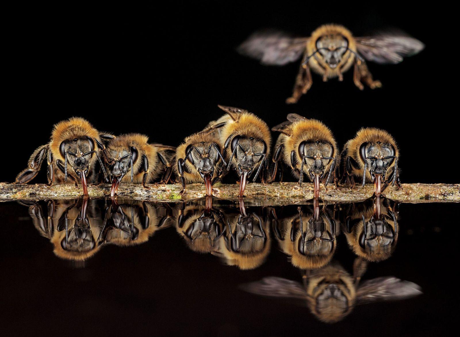 Fotografía de abejas europeas sorbiendo agua