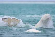 Ballena beluga