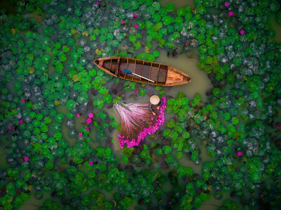 En el delta del Mekong, en Vietnam, una mujer cosecha lirios de agua. La región fértil …