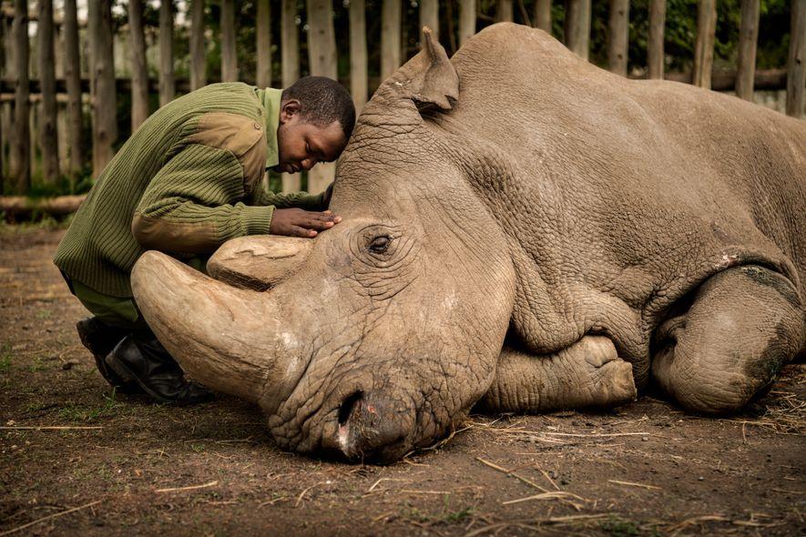 Condado de Laikipia, Kenia  Ami Vitale, que conoció al rinoceronte blanco del norte Sudán en 2009, sacó ...