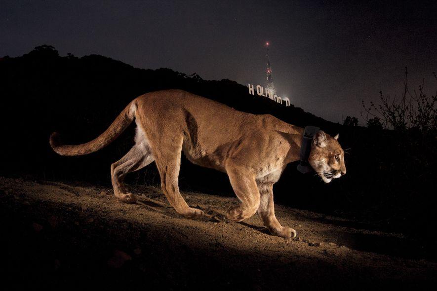 Hollywood, California  El fotógrafo Steve Winter consiguió esta imagen del puma P22 frente al emblemático letrero de ...