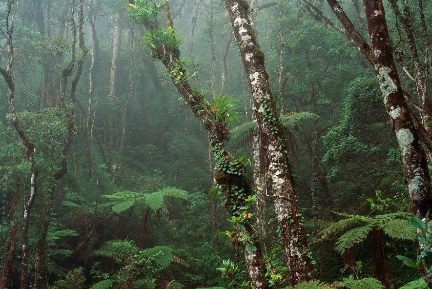 El bosque nuboso cubre las montañas de Malasia, en Borneo. Varios países —Malasia, Indonesia y Brunéi— ...