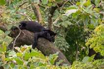 Leopardo negro salvaje