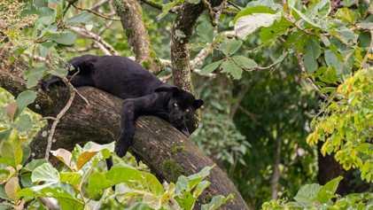 El ataque de un leopardo en Florida pone a los humanos y a los grandes felinos ...