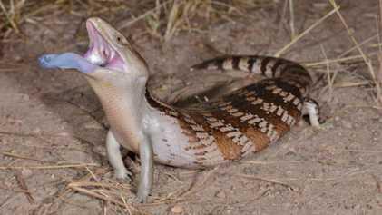 ¿Por qué tiene este lagarto una lengua azul ultravioleta?
