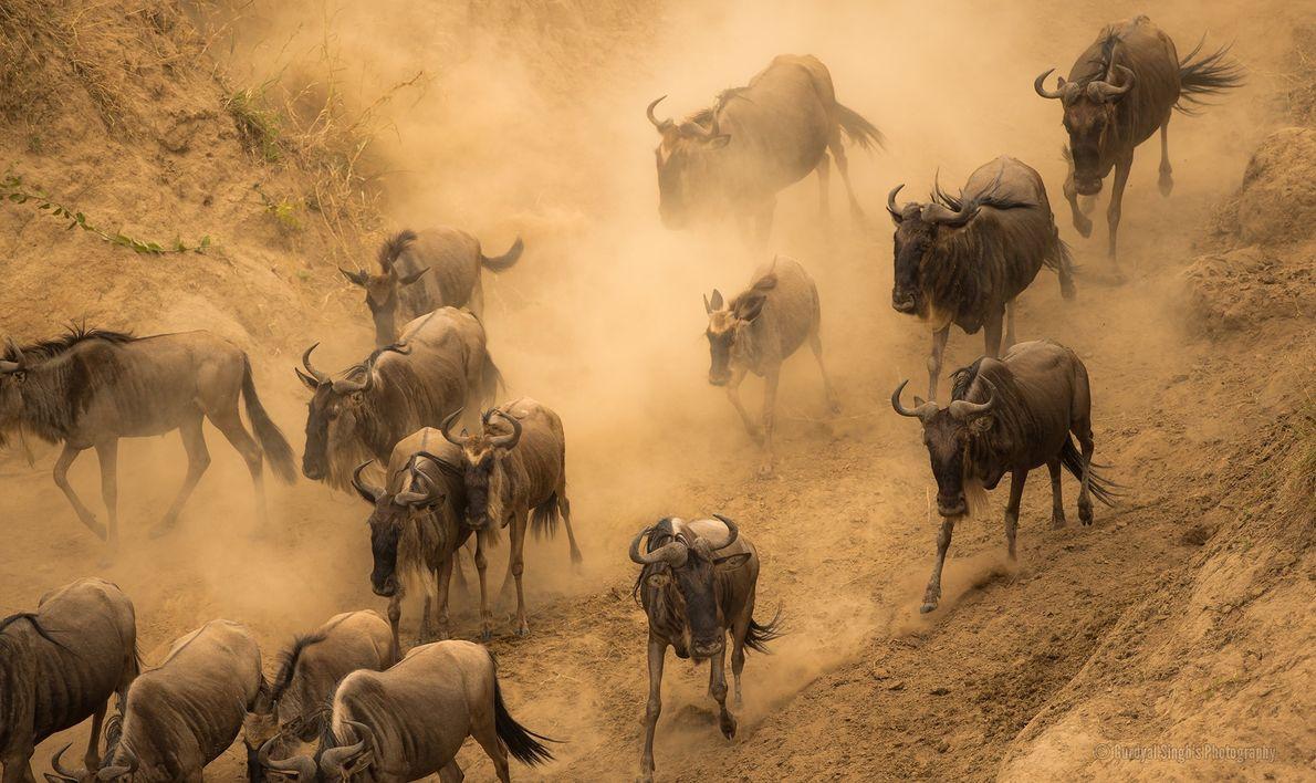 Los ñus azules migran por el río Mara.