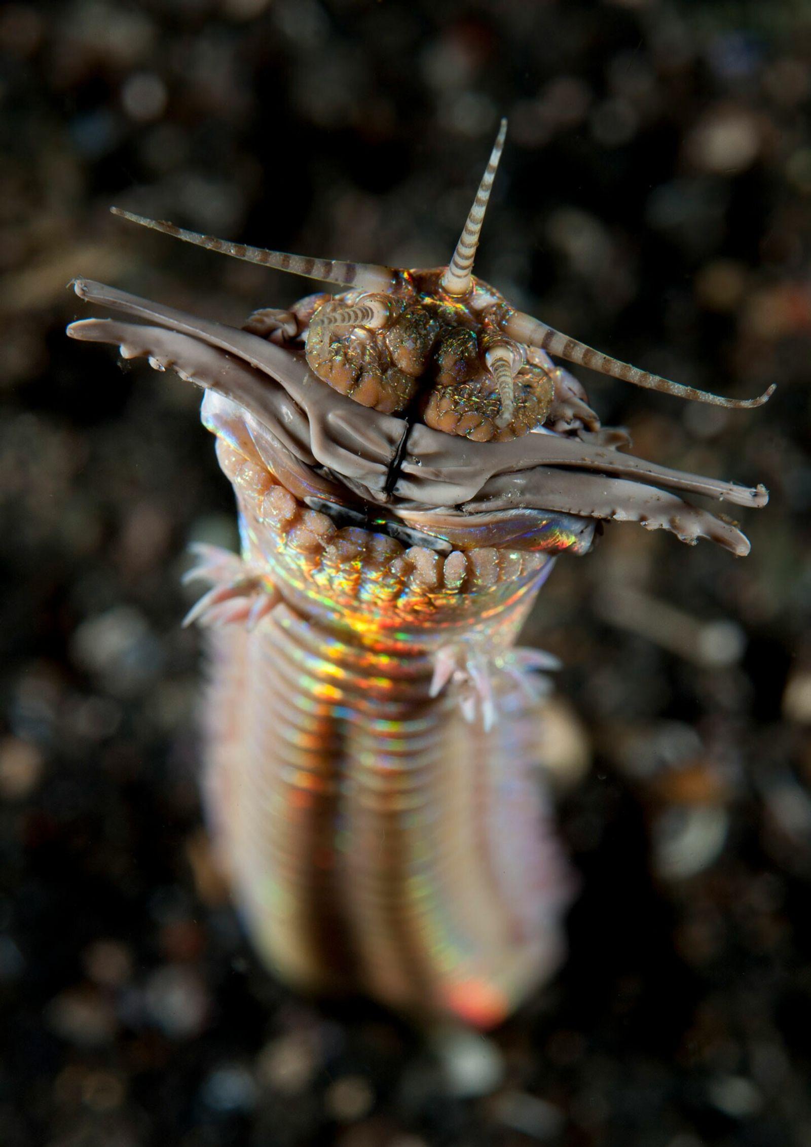 Estos gusanos depredadores gigantes acechaban en el antiguo fondo marino