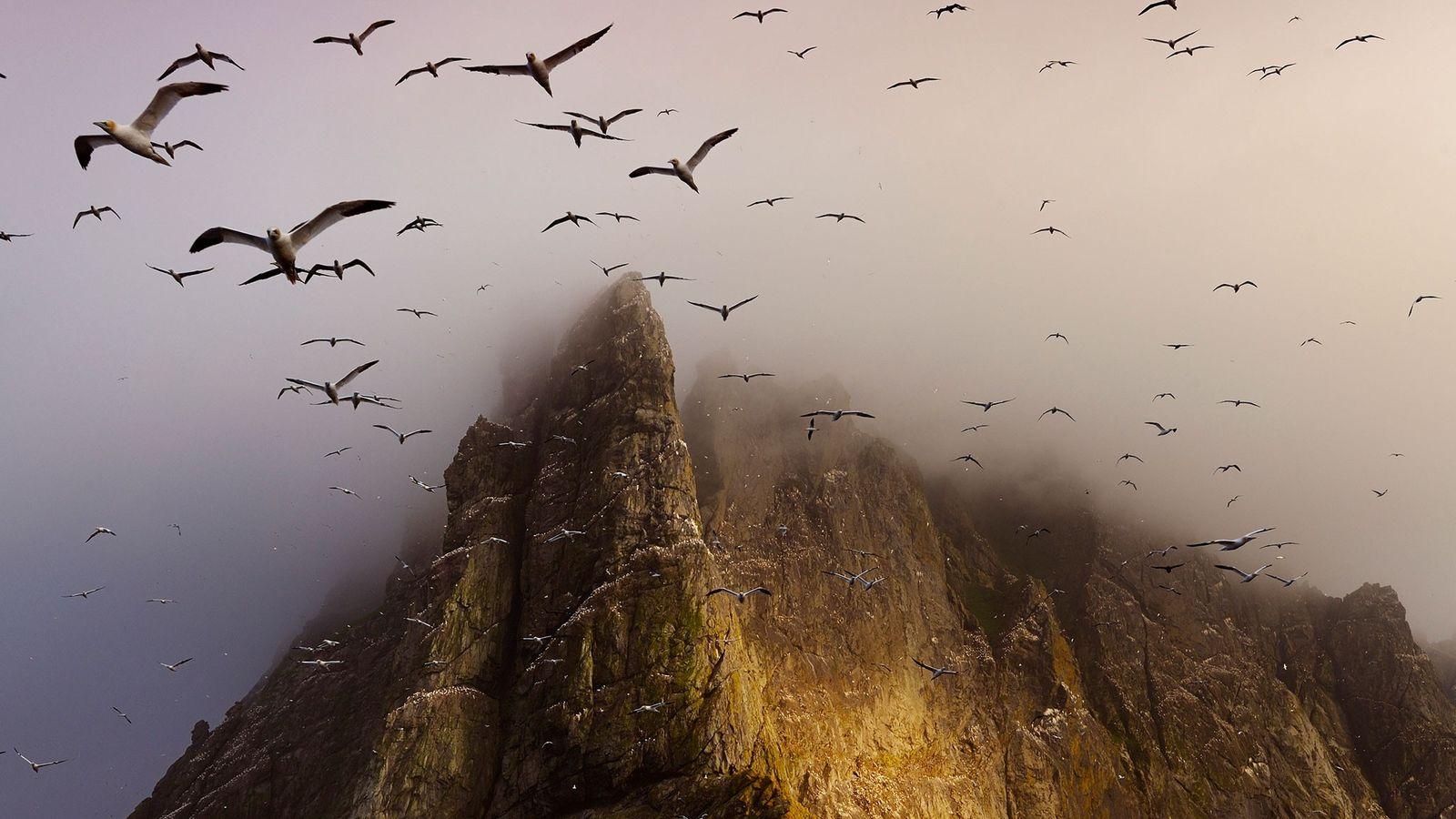 Gaviotas sobrevuelan la isla de Boreray.