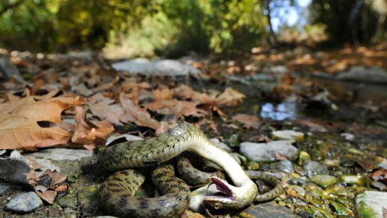 Una serpiente finge estar muerta