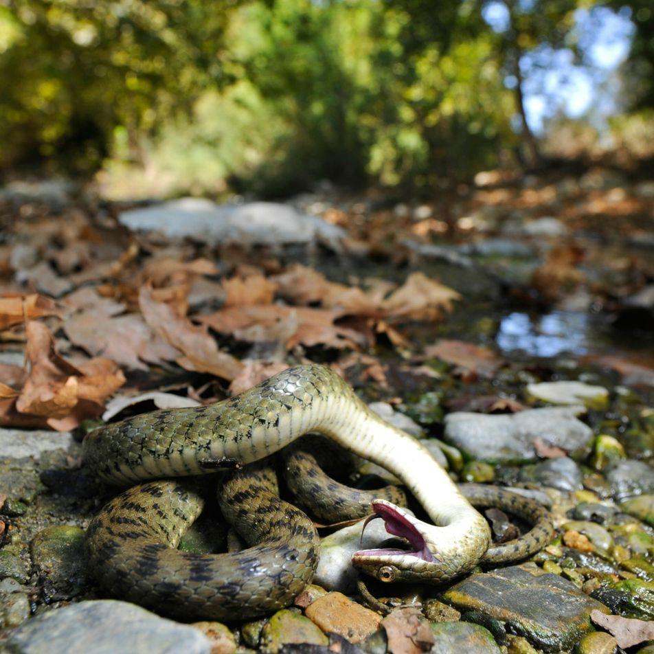 Muchos animales se hacen los muertos, pero no siempre para que no los devoren