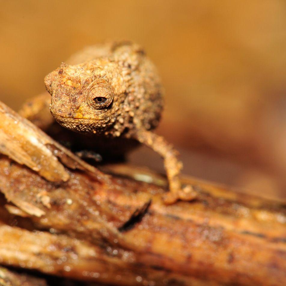 Esta nueva especie de camaleón podría ser el reptil más pequeño del mundo