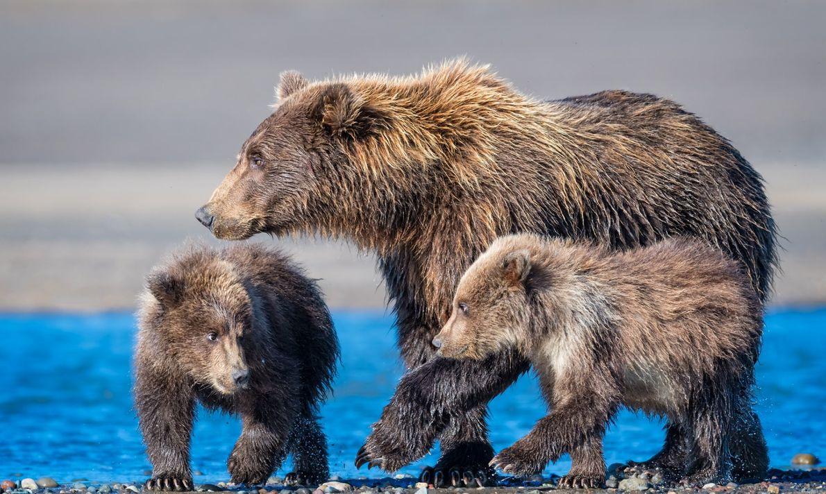 Una familia de osos pardos