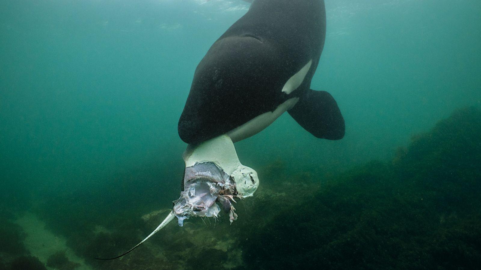 Una orca parece ofrecer una raya al fotógrafo Brian Skerry