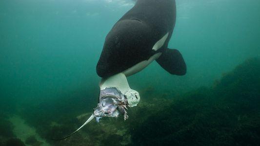 La ciencia pionera que desveló los secretos de la cultura de las ballenas