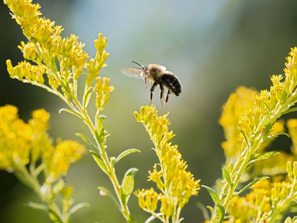 Los abejorros se extinguen en una época de «caos climático»