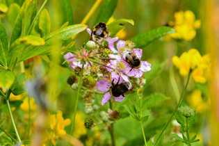 Fotografía de abejorros comunes en Argentina