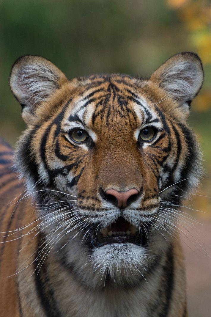 Tigre coronavirus zoológico Nueva York