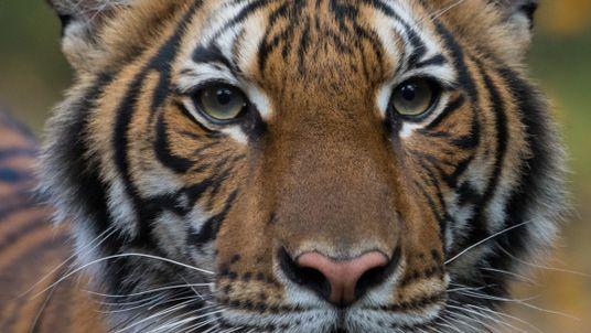 Una tigresa del zoo de Nueva York da positivo por coronavirus