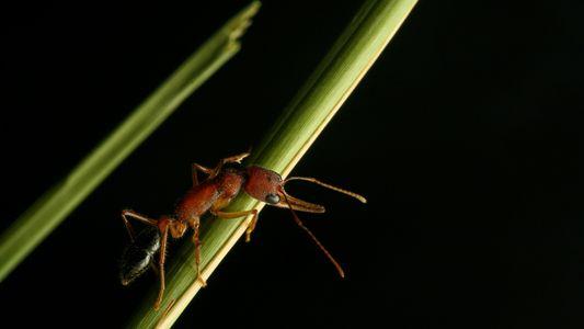 Estas hormigas pueden encoger y regenerar sus cerebros