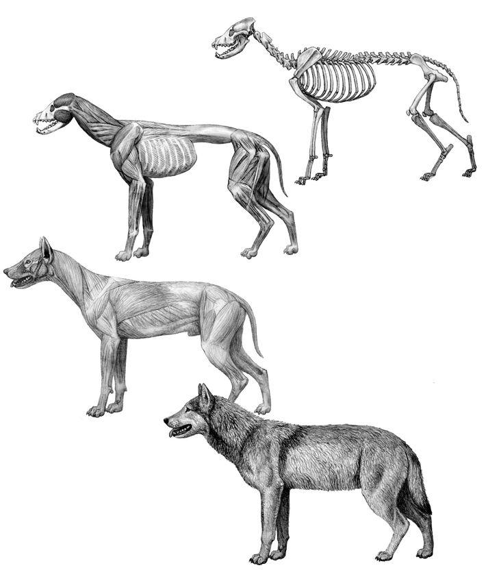Reconstrucción anatómica de los lobos terribles
