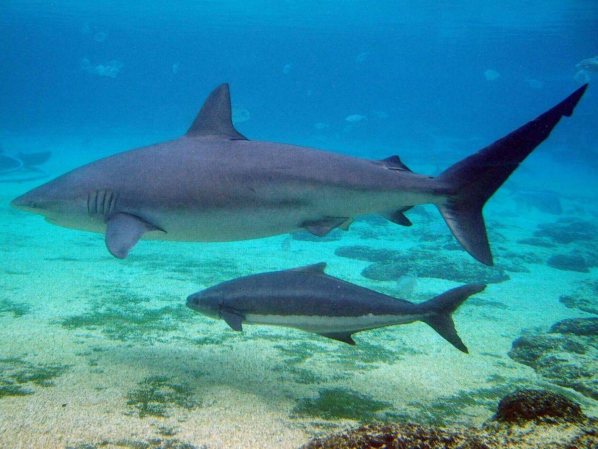 El tiburón arenero suele encontrarse en las aguas cálidas y tropicales de los mares y océanos continentales de ...