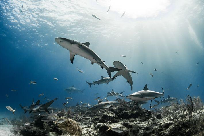 Los tiburones coralinos en Gran Bahama