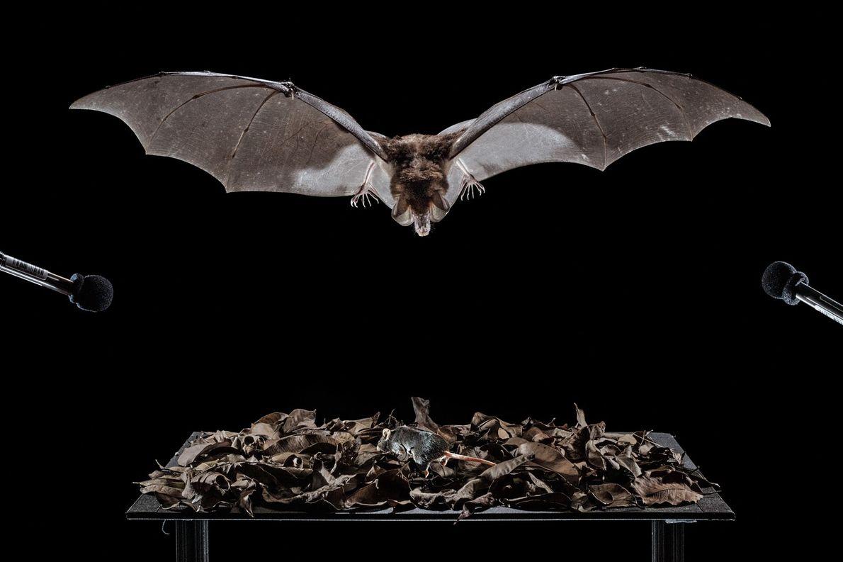 Un murciélago espectral