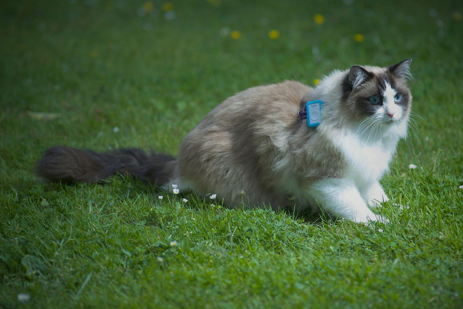 El estudio del proyecto «Cat Tracker» revela los movimientos de 900 gatos domésticos