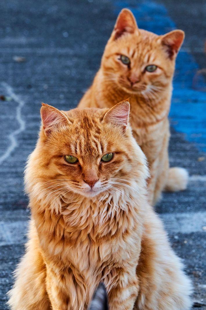 Gatos atigrados naranjas