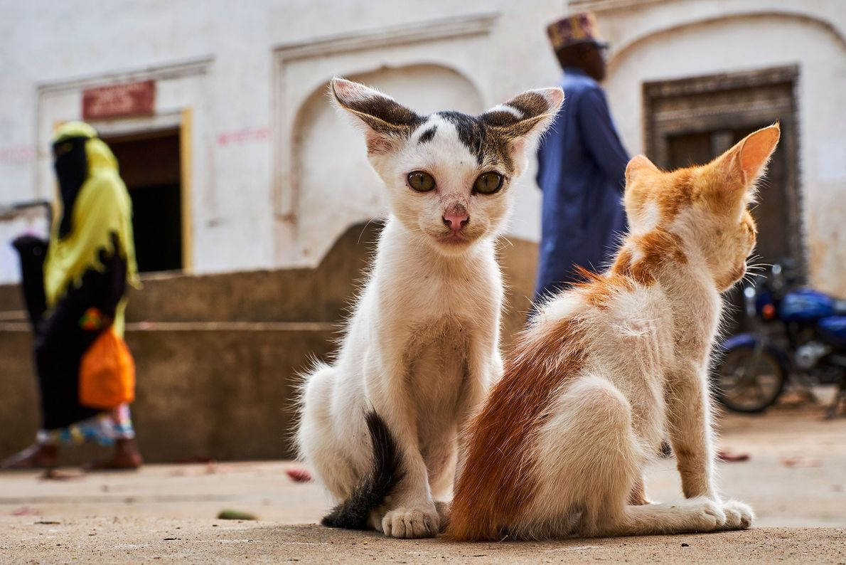 Gatos en Lamu