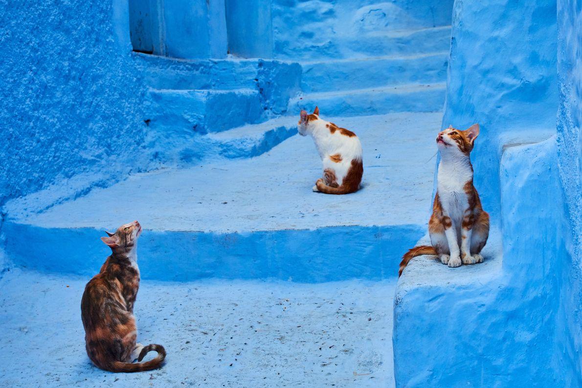 Gatos de Chefchaouen