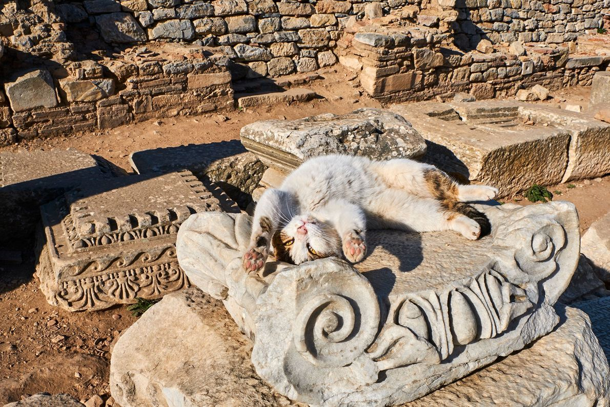 Gato de Turquía