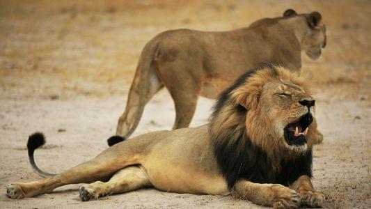 Una nueva matanza en Zimbabue, dos años después de la muerte del león Cecil