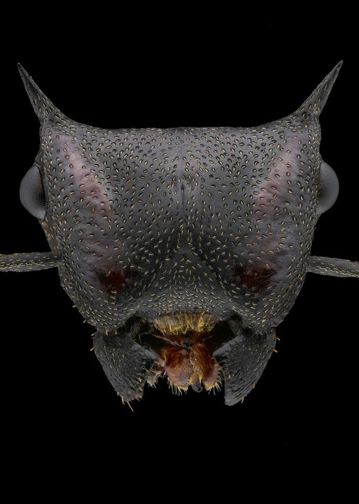 Cephalotes atratus - Sudamérica