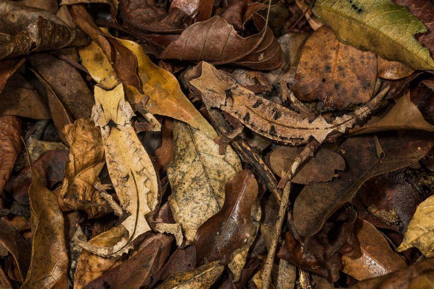Camaleones Brookesia decaryi macho y hembra. La mayoría de camaleones tienen piel que ya se parece ...