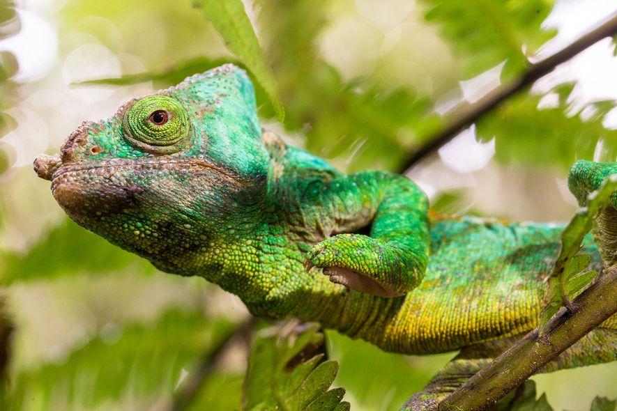 Un camaleón de Parson (Calumma parsonii) en Madagascar. Los camaleones reservan sus cambios de color más ...