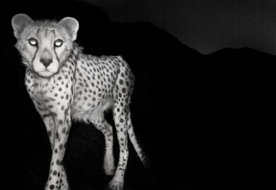 Esta fotografía de un guepardo asiático en la reserva de fauna de Naybandan de Irán fue ...