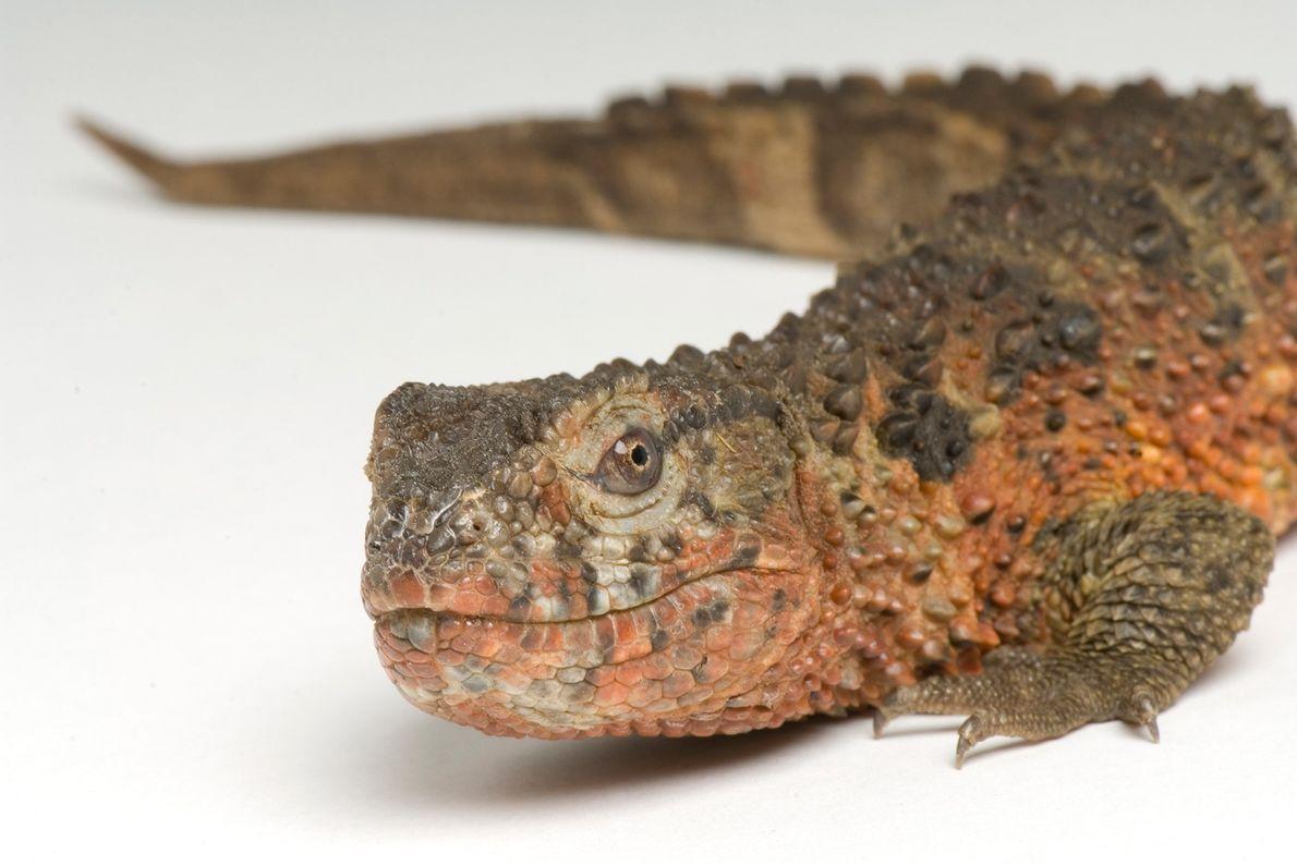 Lagarto cocodrilo