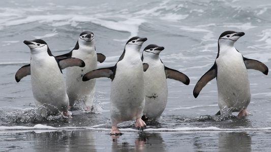 Las poblaciones de pingüinos barbijos podrían haber descendido más de un 50 por ciento en esta ...