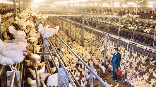 Consumir pollo en lugar de ternera reduce a la mitad nuestra huella de carbono