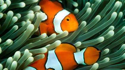 El calentamiento de los océanos puede hacer que «Nemo» sea más difícil de encontrar