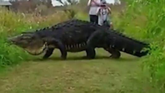 Vídeo: un caimán gigante pasea por una reserva en Florida