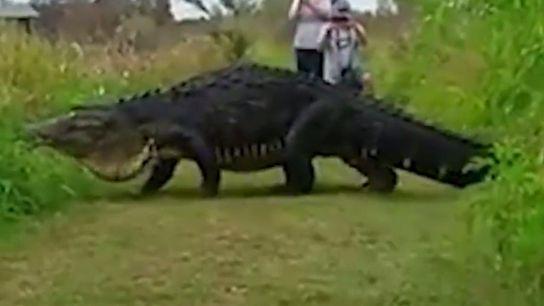 Gigantesco caimán paseando ante sus espectadores.
