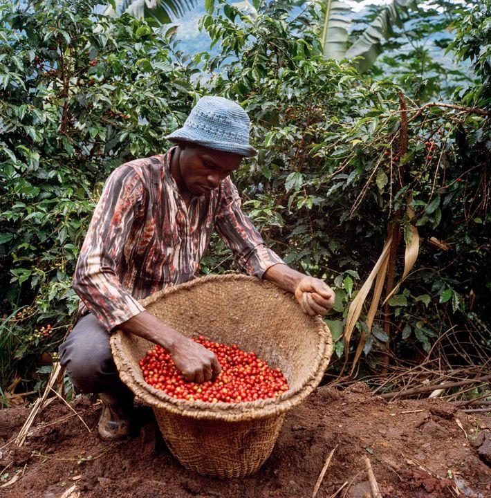 Cuanto mayor sea la calidad y más rojas sean las cerezas del café, mejor precio tendrán ...