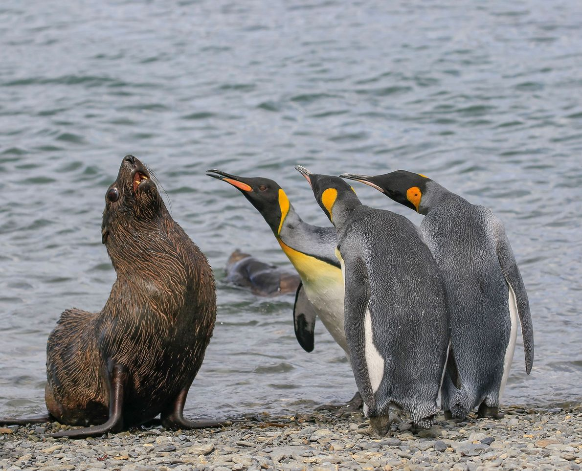 Pingüinos rey y lobo marino