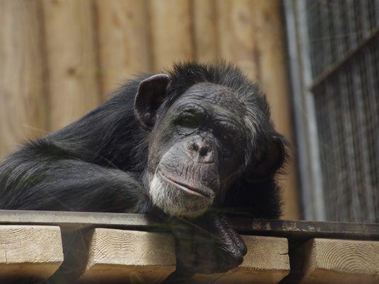 Los chimpancés utilizados en espectáculos y como mascotas sufren graves trastornos mentales