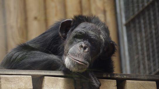 Chimpances trastornos mentales