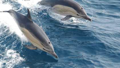 Hallan altos niveles de plastificantes en los delfines del Mediterráneo