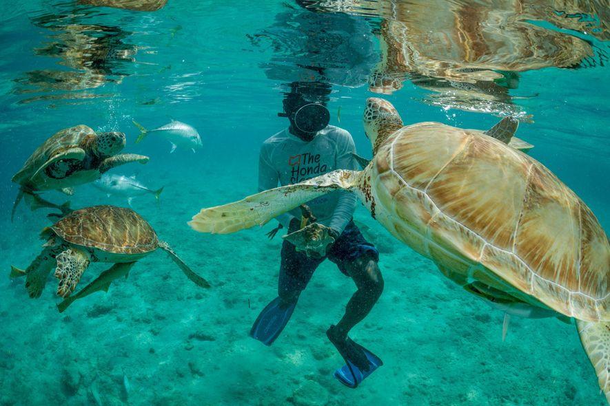 Un pescador de caracolas atrae la atención de tortugas verdes en Little Farmer's Cay en las ...